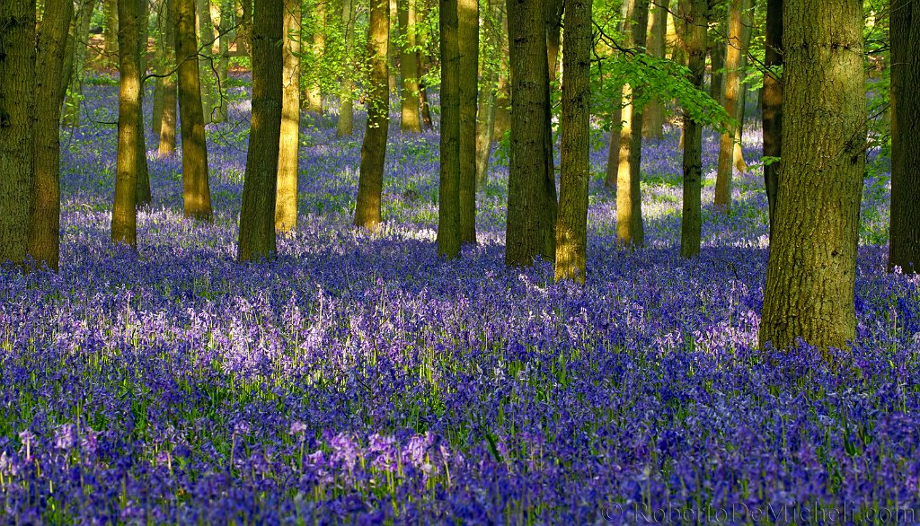 Bluebells in the woods at Ashridge